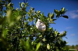 A protective mask is seen hanging in a orange tree during a harvest at a farm in Lake Wales, Florida, U.S., April 1, 2020…