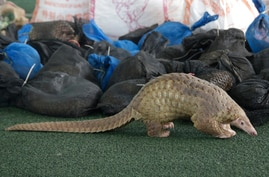 A Thai customs official display some of the 136 pangolins and 450 kgs. (992 lbs.) of pangolin scales it seized, estimated to be…