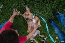 Mase a pit bull plays in the grass with Delonte Hillery in a park in Escondido, California, April 21, 2020.