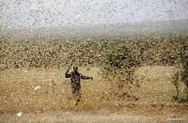 A man attempts to fend-off a swarm of desert locusts at a ranch near the town of Nanyuki in Laikipia county, Kenya, Feb. 21, 2020.