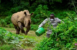 Steven Busulwa, an animal keeper, runs away from a charging rhino at the Uganda Wildlife Conservation Education Center in Wakiso district, in Entebbe.