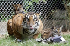 Sean, a five-year-old Sumatran tiger, is seen her two-month-old cubs inside a cage at Bali Zoo in Bali, Indonesia