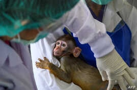 A laboratory baby monkey is being examined by employees in the breeding center at the National Primate Research Center of Thailand at Chulalongkorn University in Saraburi. Thai scientists have begun testing a COVID-19 vaccine candidate on monkeys.