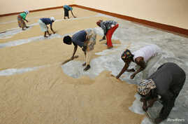 FILE - Women sweep rice at a small processing plant in the northern Ghanaian town of Bolgatanga, Feb. 1, 2008.