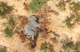 A dead elephant is seen in this undated handout image in Okavango Delta, Botswana May-June, 2020. PHOTOGRAPHS OBTAINED BY…