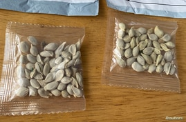 Packages of unidentified seeds which appear to have been mailed from China to U.S. postal addresses are seen at the Washington…