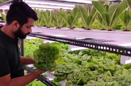 Himanshu Aggarwal grows lettuce, microgreens and herbs in an 800-square-foot enclosed room in New Delhi. (Anjana Pasricha/VOA)