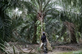 FILE - A worker collects palm oil fruits at a plantation in Klang, Malaysia, June 15, 2020.