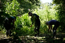 FILE - Volunteers remove Himalayan balsam, a non-native invasive species that spreads along river banks and can cause erosion problems, during a clean-up on the Hogsmill River, in Kingston-upon-Thames, southwest London, Britain, June 26, 2018.