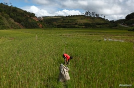 FILE - A young boy collects grass in a harvested rice paddy field to feed to cattle outside the village of Andranovelona, around 55 km (34 miles) north of Madagascar's capital city Antananarivo.