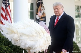 """U.S. President Donald Trump looks at the National Thanksgiving Turkey """"Corn"""" during the 73rd annual presentation (and pardoning)"""