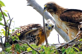 FILE - This June 5, 2009, file photo shows a Redtail hawk feeding a snake to one of her young ones nested at the Rocky Mountain…