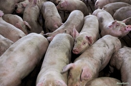 A group of pigs from Cher Pork Farms is seen in Lone Rock, Iowa, U.S., August 28, 2018. Picture taken August 28, 2018. To match…