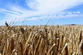 FILE PHOTO: Crops are seen in a barley field at a farm near Moree, an inland town in New South Wales, Australia October 27,…
