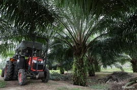 FILE - A mini tractor grabber collects palm oil fruits at a plantation in Pulau Carey, Malaysia, Jan. 31, 2020.