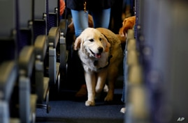 FILE - In this April 1, 2017 file photo, a service dog strolls through the isle inside a United Airlines plane at Newark…