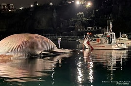 The body of a dead whale is seen of the surface of the sea by the harbor of Sorrento, after Italian coastguard scuba divers followed a whale calf that was in distress, in Sorrento, Italy, Jan. 19, 2021.