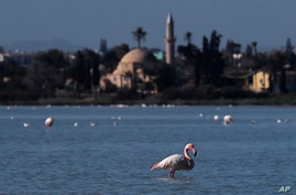 A flamingo stands at a salt lake with the Hala Sultan Tekke Mosque in the background, which was built between 1760 and 1796, in the southern coastal city of Larnaca, in the eastern Mediterranean island of Cyprus, Jan. 31, 2021.
