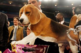 Uno, a 15-inch beagle, poses with his trophy after winning Best in Show at the 132nd Westminster Kennel Club Dog Show.