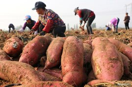 Farmers harvest sweet potatoes in a field in Jining, Shandong province, China November 2, 2017. Picture taken November 2, 2017…