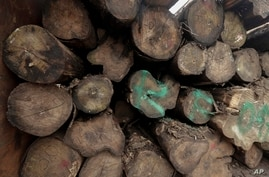 Logs are covered with an old marking system that certifies the legality of wood, in the back of a truck at a government…