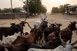 A man leaves with his herd a cattle market in Maroua on March 2, 2020. - The Far North is the region in Cameroon with the…