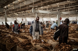 Tobacco buyers browse through bales at the Tobacco Auction floor on April 16, 2015 in Blantyre, Malawi. Tobacco, popularly…