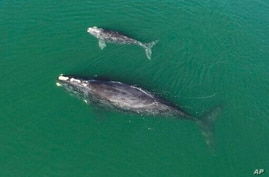 This Jan. 19, 2021 photo provided by the Georgia Department of Natural Resources shows a North Atlantic right whale mother and…