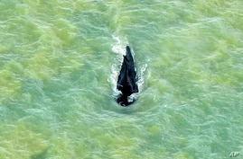 FILE - In this photo provided by Parks Australia, a humpback whale swims in the ocean in Van Diemen Gulf, Australia, Sept. 20, 2020.