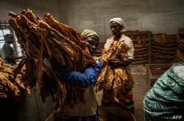 FILE - Malawian workers prepare tobacco leaves to be packed and stored ahead of an auction at a tobacco farm in Zomba municipality, Malawi, May 20, 2014.