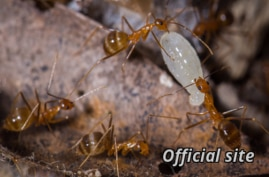 FILE - Yellow crazy ants are seen on an image posted on an official Australian government website, wettropics.gov.au.