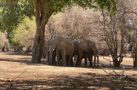Zimbabwe's elephant population has grown in recent years to more than 100,000. Some farmers have complained that the elephants are destroying their crops and grazing lands. (Photo: Mana Pools National Park in Zimbabwe's Hurungwe district, May 2021)