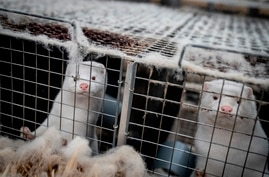 (FILES) This file photo taken on November 6, 2020 shows mink looking out from their cage at the farm of Henrik Nordgaard Hansen…