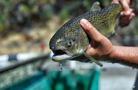 CORRECTS THE CREATION DATE TO AUGUST 2017 - This August 2017 photo provided by the U.S. Fish and Wildlife Service shows a winter-run Chinook salmon. Approximately 29,000 endangered winter-run juvenile Chinook salmon were released into the North Fork…