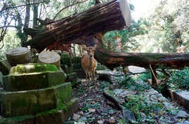 A deer stands near a fallen tree at Kasugataisha shrine in Nara, western Japan Wednesday, Sept. 5, 2018. One of Japan's busiest airports remained closed indefinitely after the strongest typhoon to hit Japan in at least 25 years flooded a runway and…