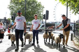 Demonstrators walk a flock of sheep through the streets as part of a protest against Brexit, in central London, Thursday, Aug. 15, 2019. Protestors are walking sheep past government buildings as part of 'Farmers for a People's Vote' to highlight the…