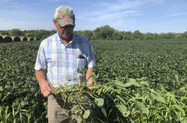 Farmer Randy Miller is shown with his soybeans, Thursday, Aug. 22, 2019, at his farm in Lacona, Iowa.  Miller, who also farms corn, is among farmers unhappy with President Donald Trump over  waivers granted to oil refineries that have sharply…