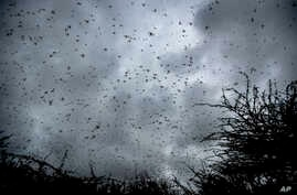 Swarms of desert locusts fly up into the air from trees in Katitika village, Kitui county, Kenya Friday, Jan. 24, 2020. Desert…
