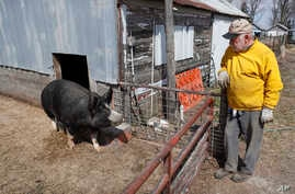 In this Friday, April 17, 2020, photo, Chris Petersen looks at a Berkshire hog in a pen on his farm near Clear Lake, Iowa…