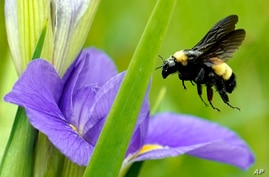A bee takes off from a flower Monday, April 20, 2020, at Sheldon Lake State Park and Environmental Learning Center in Houston…