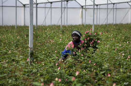 In this photo taken Thursday, March 19, 2020, farm worker Josephine Nyangaresi cuts roses to be thrown away at Maridadi Flowers…