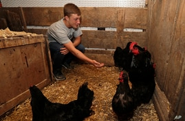 Eric Davis feeds chickens in the chicken coop, Tuesday, Sept. 1, 2020, near Jenera, Ohio. Davis, a high school sophomore who's…