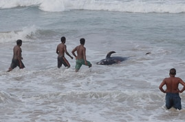 Sri Lankans attempt to push a beached whale back to deep waters in the Indian Ocean in Panadura, on outskirts of Colombo, Sri…