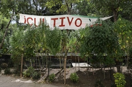 Marijuana plants grow at a makeshift camp outside of the Senate building in Mexico City, Thursday, Nov. 19, 2020. Mexican…
