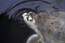 A sea turtle that had been held at the Animal Rehabilitation Keep in Port Aransas, Texas, swims in a tank at the Sea Life…