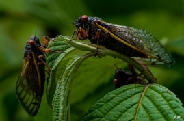 Adult Cicadas rest on a plant, Monday, May 17, 2021, at Woodend Sanctuary and Mansion, in Chevy Chase, Md. (AP Photo/Carolyn…