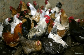 FILE PHOTO: Chickens await vaccination against bird flu at the settlement Peredovoi near Stavropol