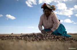 Maxima Ccalla moves dehydrated potatoes on a field in the Carata peasant community, in Puno