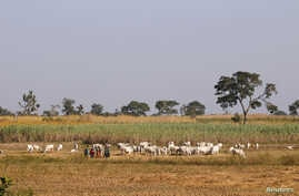 Herders graze a field with their livestocks on the outskirt of Zaria in Nigeria's northern state of Kaduna November 15, 2016…