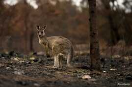 An injured kangaroo with a joey in its pouch, limps through burnt bushland in Cobargo, Australia January 9, 2020. REUTERS…